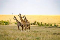 长颈鹿群纠正面对一个小组在大草原的狮子 免版税库存图片