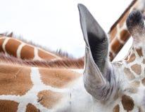 长颈鹿耳朵 免版税库存照片
