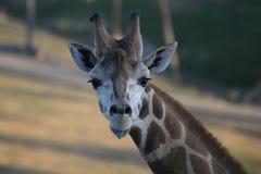 长颈鹿舌头 库存照片