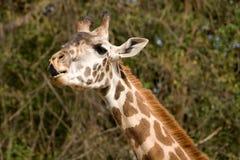 长颈鹿舔 图库摄影