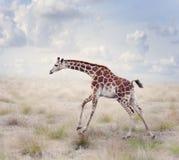 年轻长颈鹿赛跑 图库摄影