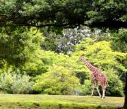 长颈鹿走 库存照片