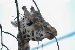 长颈鹿输入一个动物园 免版税库存图片