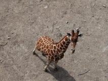 长颈鹿透视 库存图片