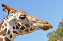 长颈鹿配置文件 库存图片