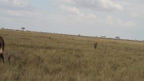 长颈鹿长颈鹿在塞伦盖蒂国家公园 股票视频