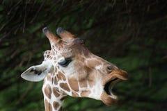 长颈鹿闲话 库存照片