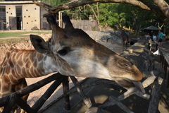 长颈鹿面孔舌头 免版税库存照片