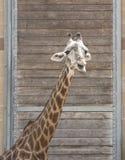长颈鹿顶头射击 免版税库存图片