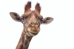 长颈鹿顶头特写镜头 免版税库存照片