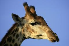 长颈鹿顶头纵向 库存图片