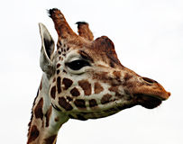 长颈鹿顶头纵向 库存照片