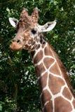 长颈鹿顶头脖子 免版税库存图片