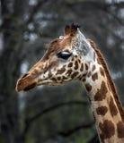 长颈鹿顶头s 库存图片