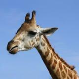 长颈鹿顶头射击 库存图片
