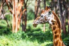 长颈鹿顶头特写镜头(长颈鹿中心:危险的野生生物的非洲资金) 库存图片