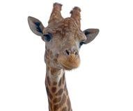 长颈鹿顶头面孔 免版税库存图片