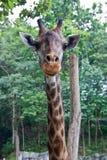 长颈鹿题头在动物园里。 库存图片