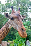 长颈鹿题头在动物园里。 免版税库存照片