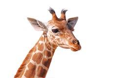 长颈鹿题头查出的年轻人 免版税库存照片
