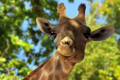 长颈鹿题头 免版税库存图片