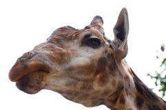 长颈鹿题头 免版税图库摄影