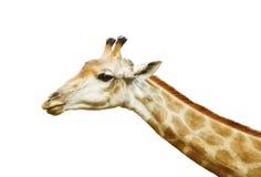长颈鹿题头 免版税库存照片