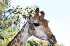 长颈鹿题头关闭 免版税图库摄影