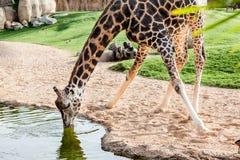 长颈鹿饮用水 免版税库存照片
