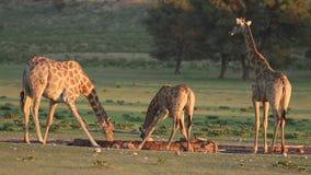长颈鹿饮用水 影视素材