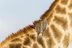 长颈鹿鸟野生生物 图库摄影