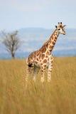 长颈鹿,乌干达,非洲 库存照片