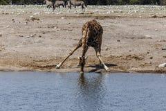 长颈鹿,喝在水坑 免版税库存图片
