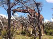 长颈鹿,奈瓦沙湖肯尼亚 免版税库存图片