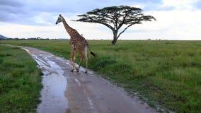 长颈鹿,当在塞伦盖蒂的徒步旅行队,坦桑尼亚,非洲时 库存图片