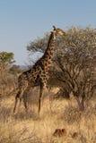 长颈鹿, Madikwe比赛储备 库存照片