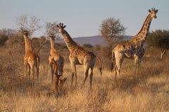 长颈鹿, Madikwe比赛储备 免版税库存图片