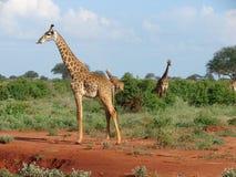 长颈鹿-国家公园Tsavo东部在肯尼亚。 春天的中间名 库存照片