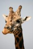 长颈鹿头在动物园里 库存图片