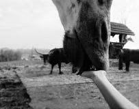 长颈鹿鼻子和手 免版税库存图片