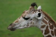 长颈鹿头特写镜头  免版税库存图片