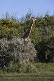 长颈鹿滑稽动作 免版税库存图片