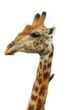 长颈鹿头被隔绝的长颈鹿camelopardalis 库存照片
