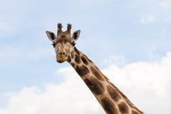 长颈鹿画象狂放的动物园 关闭射击 免版税库存图片