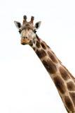长颈鹿画象狂放的动物园 关闭射击 免版税图库摄影