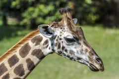 长颈鹿头画象细节  免版税库存照片