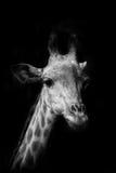 长颈鹿画象  库存图片