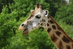 长颈鹿画象  免版税库存照片