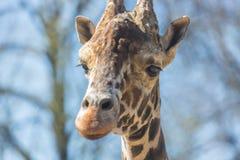 长颈鹿头长颈鹿Camelopardalis的特写镜头画象 免版税库存照片