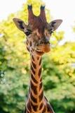 长颈鹿(长颈鹿camelopardalis) 图库摄影